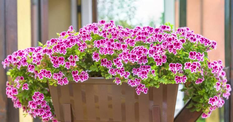 Пеларгония - способы выращивания и особенности разведения цветка