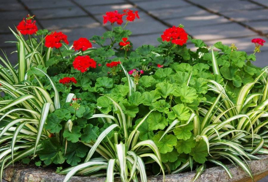 Герань садовая многолетняя: посадка и уход на дачном участке