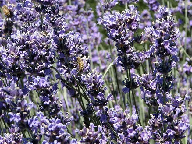 Лаванда: посадка и уход в открытом грунте, выращивание из семян, фото