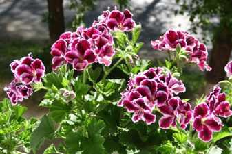 Пеларгония в саду. как правильно ухаживать