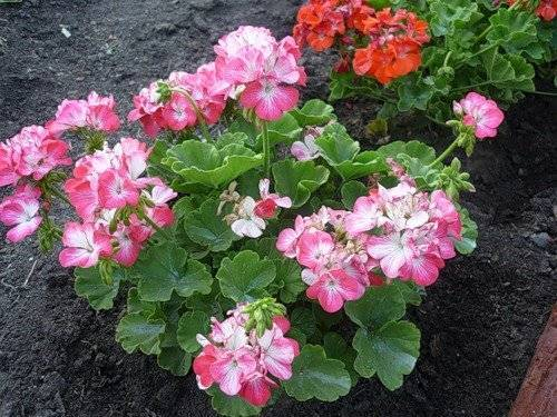 уход за пеларгонией в саду