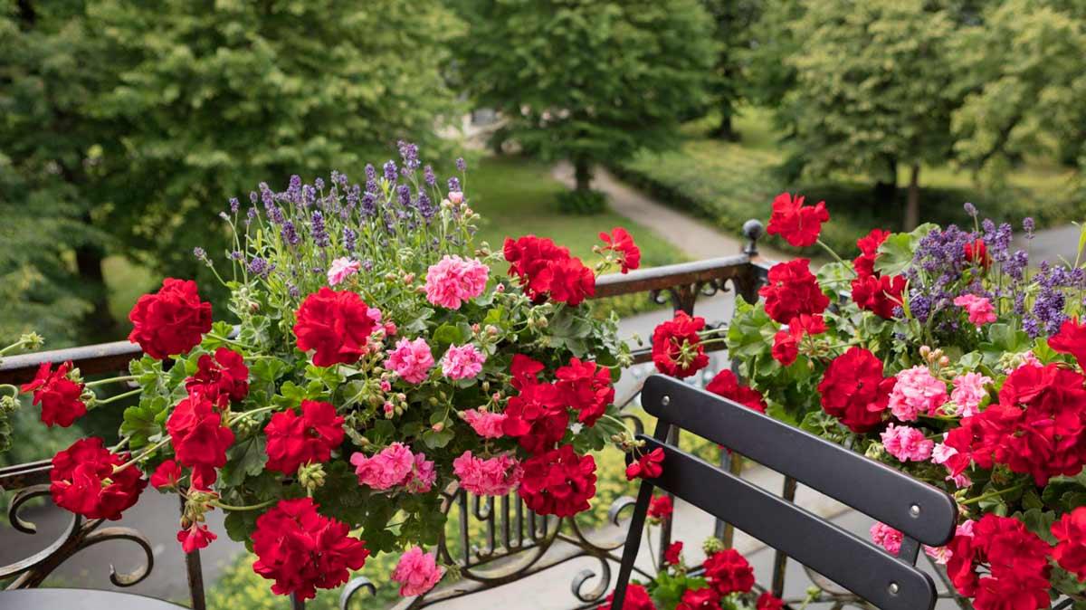 Советы по посадке и уходу за садовой многолетней геранью