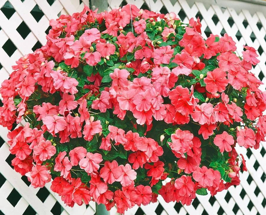 Бальзамин садовый — «недотрога бальзаминовая»: посадка, выращивание и уход