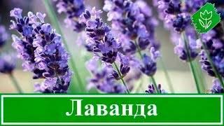 Выращивание лаванды из семян у себя дома: описание, разновидности, посадка и уход, стратификация | (50+ фото & видео) +отзывы