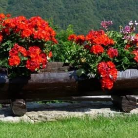Пеларгония для украшения террас и клумб: сорта и виды, посадка и уход за геранью