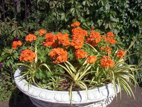 Герань садовая многолетняя: сорта с фото, применение в дизайне герань садовая многолетняя: сорта с фото, применение в дизайне
