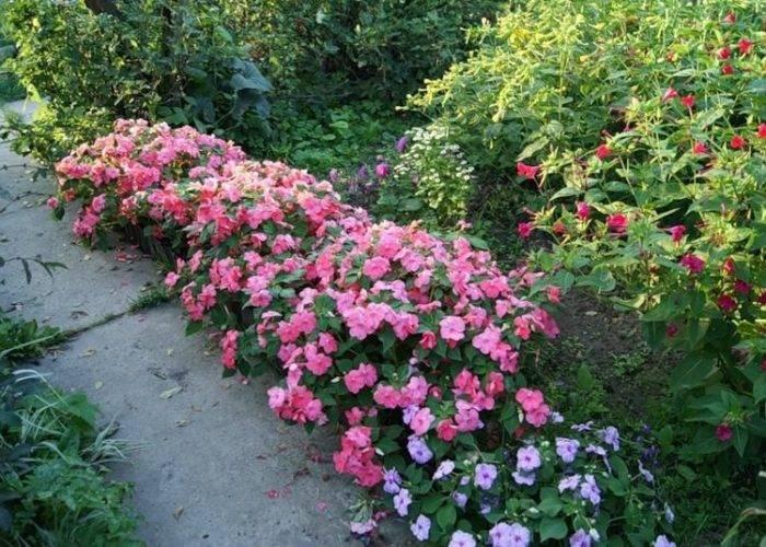 Бальзамин (70 фото): посадка и уход, выращивание
