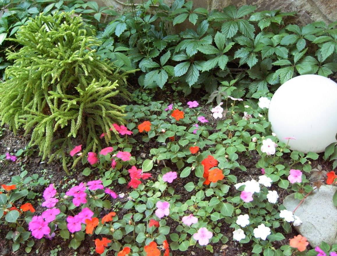 """Бальзамин - """"ванька мокрый"""", выращивание из семян и уход"""