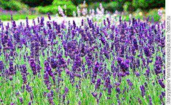 Лаванда в саду: выращивание и уход в открытом грунте