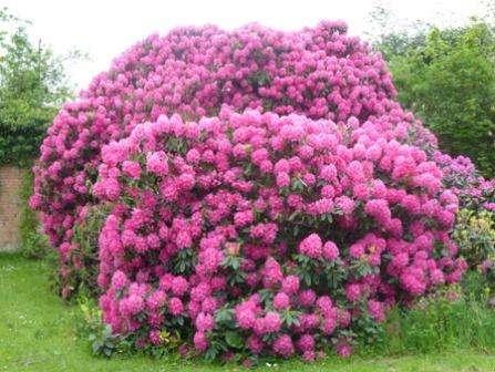 Вьющиеся растения в тени многолетние. многолетние вьющиеся растения для сада   дачная жизнь