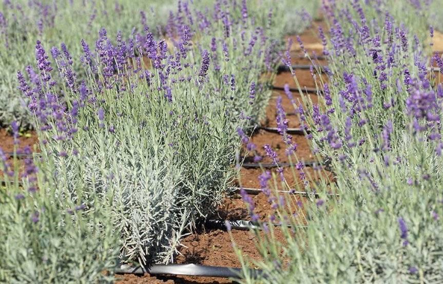 Лаванда: посадка и уход в открытом грунте, фото, сорта, размножение, выращивание и сочетание в ландшафтном дизайне