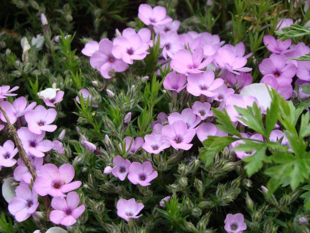 Многолетние тенелюбивые цветы для клумбы