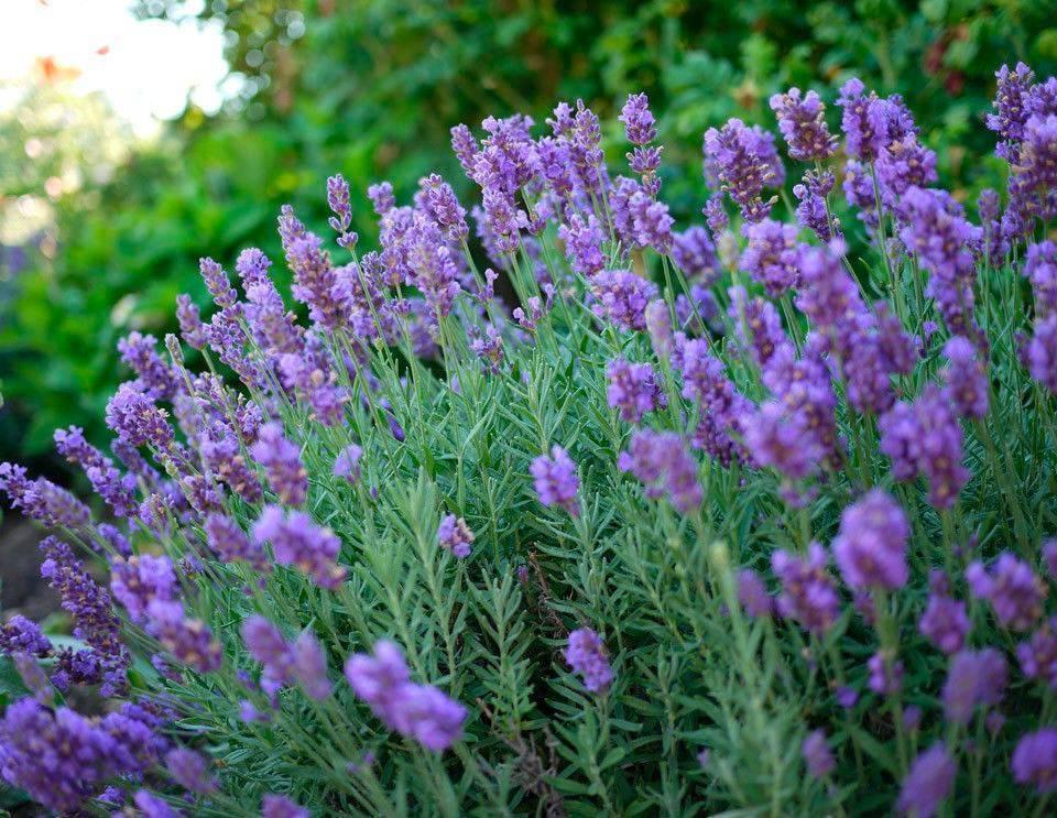 Лаванда: посадка и уход в открытом грунте, выращивание из семян