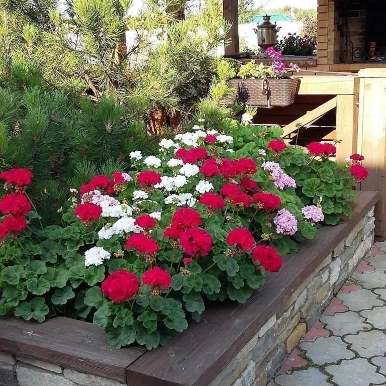 Ландшафтный дизайн с геранью в саду — фото красивого оформления участка