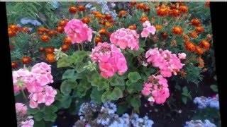 Уход за геранью в открытом грунте: как разместить ее летом в саду, чего цветок не любит, основные требования к условиям содержания на улице, вредители и болезни selo.guru — интернет портал о сельском хозяйстве