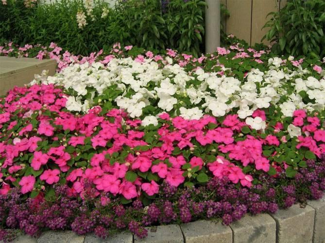 Бальзамин садовый посадка и уход фото, сорта, когда сеять семена