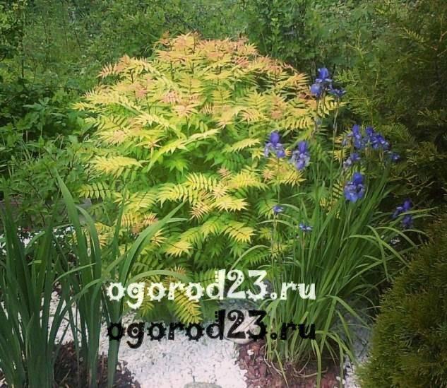 Современные кустарники для сада - фото примеров