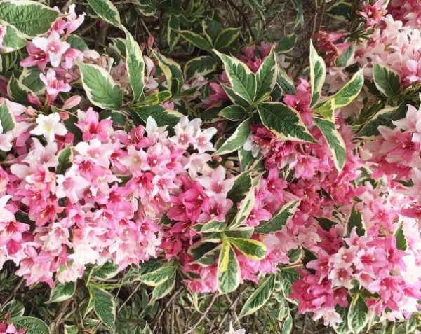 Цветущие кустарники многолетники фото с названиями описание