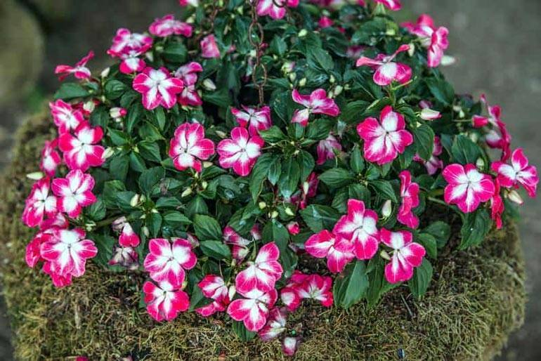 Бальзамин садовый (42 фото): правила посадки цветка, особенности ухода. можно ли сажать уличный  бальзамин в январе на рассаду?
