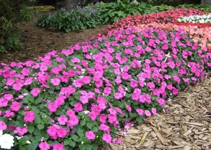 Бальзамин садовый посадка и уход, фото сортов, выращивание и размножение в открытом грунте, роль в ландшафтном дизайне